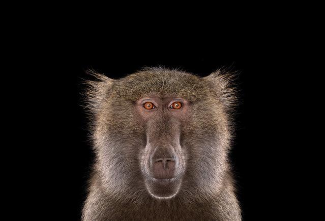 Baboon. (Photo by Brad Wilson)