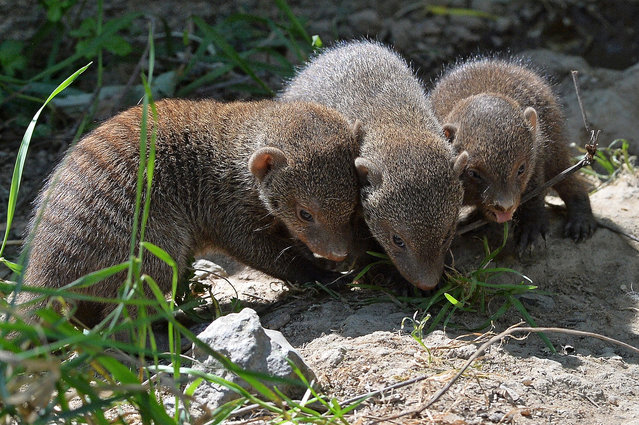 Babies of banded mongoose, born weeks ago, play together in the zoo Pilsen, Czech Republic, September 3, 2015. (Photo by Pavel Nemecek/CTK via ZUMA Press)