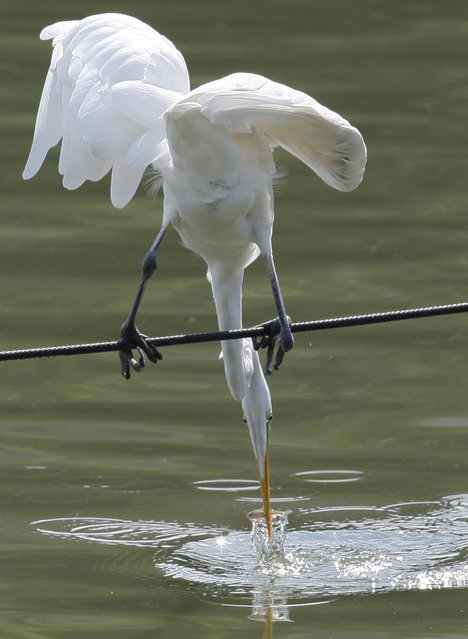 An egret balancing on a wire rope preys on small fish in a pond at Ueno Park in Tokyo Monday, September 22, 2014. (Photo by Shizuo Kambayashi/AP Photo)