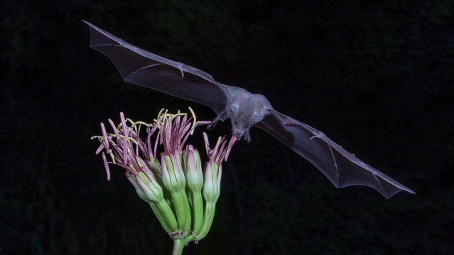"""""""Mexican Long Nosed Bat"""". Mexican Long Nosed Bat feeding on a nectar flower during the night at Elephant Head in Arizona. The photo was taken during the night with inferred triggers that set off the camera when the bats came to the flower to feed. Photo location: Elephant Head in Southern Arizona. (Photo and caption by Juan DeLeon/National Geographic Photo Contest)"""