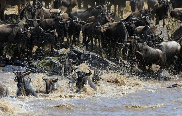 Wildebeests (connochaetes taurinus) cross the Mara river during their migration to the greener pastures, between the Maasai Mara game reserve and the open plains of the Serengeti, southwest of Kenya's capital Nairobi, August 15, 2016. (Photo by Thomas Mukoya/Reuters)