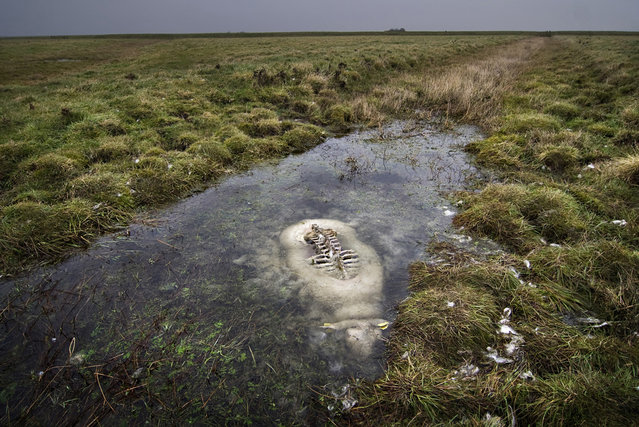 """Immersion: The sheep drowned while trying to cross a small canal in the meadow-swamp ""Tøndermasken"", in southern Jylland in Denmark. Birds had eaten every part above the surface, and everything under was left totally untouched"". (Photo and comment by Johannes Bojesen/National Geographic Photo Contest via The Atlantic)"