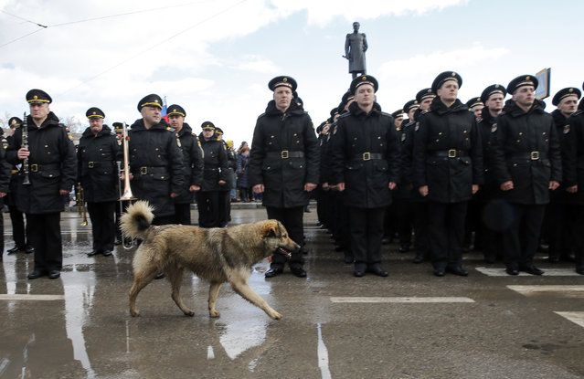 A dog runs past Russian navy sailors taking part in a festive ceremony marking the first anniversary of the Crimean treaty signing in Sevastopol, March 18, 2015. (Photo by Maxim Shemetov/Reuters)