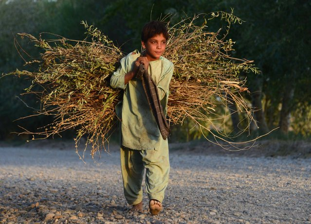 In this photograph taken on August 25, 2016, an Afghan boy carries firewood over his shoulders on the outskirts of Herat. (Photo by Aref Karimi/AFP Photo)