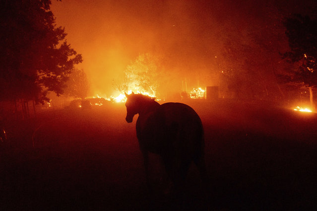 A horse walks towards flames as the LNU Lightning Complex fires tear through Vacaville, Calif., on Wednesday, August 19, 2020. Fire crews across the region scrambled to contain dozens of wildfires sparked by lightning strikes as a statewide heat wave continues. (Photo by Noah Berger/AP Photo)