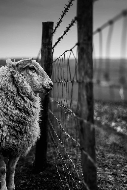 "Counting Sheep, Essex. Young Landscape photographer of the year. ""I captured this photo on the South Downs in East Sussex whilst out on a walk with my sister. We spotted this sheep standing well away from its herd. As I slowly approached the fence – trying my best not to scare it – I knelt down beside it and took the photo. Although some may think this image may have looked better and cooler with something like a deer stood in its place, I like that it is a sheep – I think many believe that there is not much point taking a photo of a sheep because we see them all the time"". (Photo by Joshua Elphick/UK Landscape Photographer of the Year 2020)"