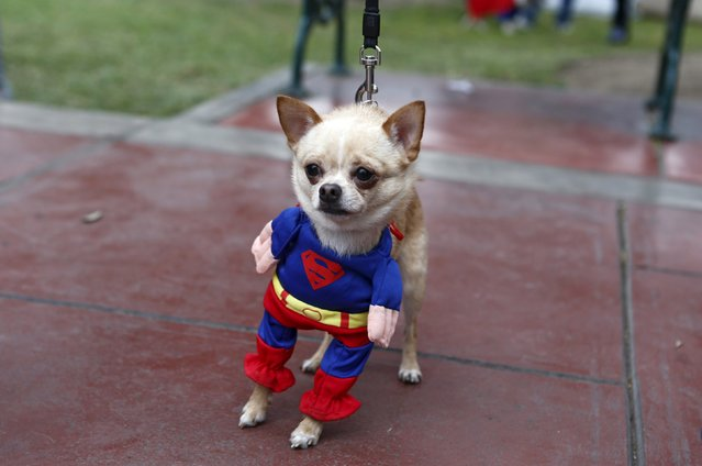 A dog dressed in a costume takes part in the Pet's Halloween Day parade at El Olivar Park in San Isidro, Lima, October 31, 2015. (Photo by Mariana Bazo/Reuters)