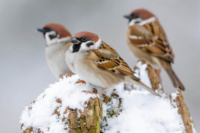 Tree sparrows perch on a snow-covered tree trunk in Almelo, The Netherlands. (Photo by Alex Huizinga/Alamy Stock Photo)