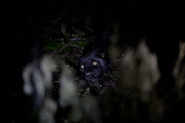 A black male jaguar lies tranquillised by researchers from the Mamiraua Institute at the Mamiraua Sustainable Development Reserve in Uarini, Amazonas state, Brazil, March 6, 2018. (Photo by Bruno Kelly/Reuters)