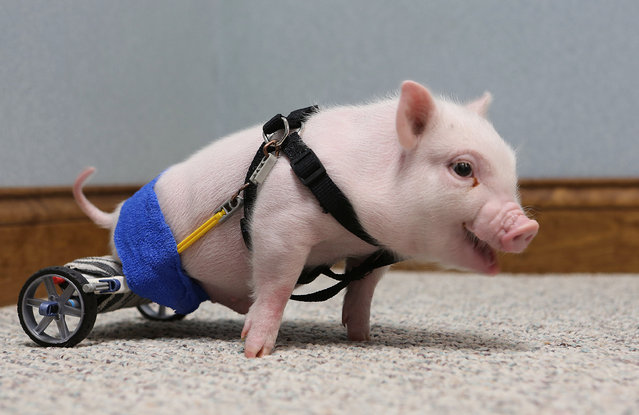 Chris P. Bacon, pictured February 12, 2013, at Eastside Veterinary Hospital in Clermont, Florida, was born without the use of his hind legs. Last month, the pig's owner turned the piglet over to a Clermont vet who decided to help the little guy. Dr. Len Lucero took the pig home and made a wheelchair for him using toy parts. (Photo by Tom Benitez/Orlando Sentinel/MCT)