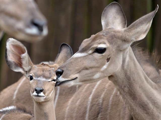 A young kudu stands next to his mother at the Duisburg Zoo in Germany. A kudu is a species of antelope. (Photo by Federico Gambarini/EPA)