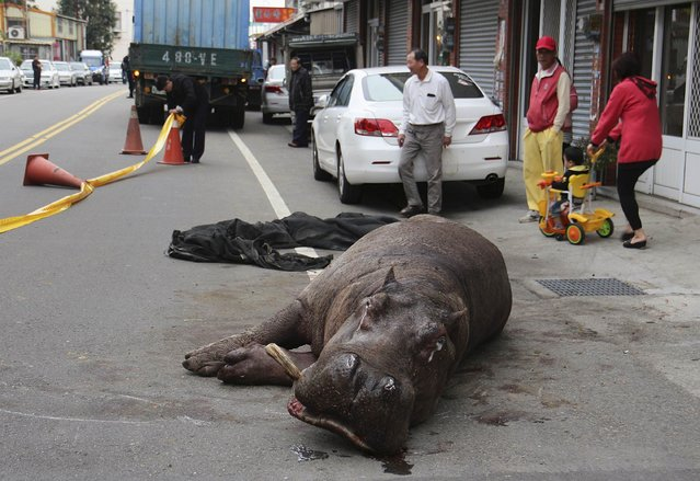 An injured hippo lies on the street after jumping off from a truck in Miaoli county, December 26, 2014. One witness said she rushed outside after hearing a loud commotion as she was watching TV at home and saw the hippo butting its head furiously against a parked car. The hippo was eventually overcome with exhaustion and lay down on the ground, appearing to be suffering from injuries including broken teeth and a broken leg. (Photo by Reuters/Stringer)