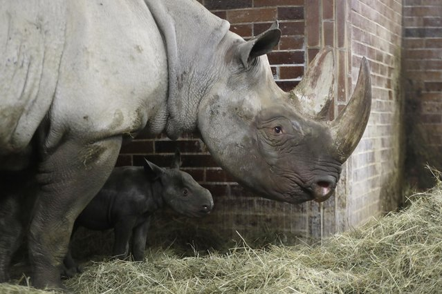 A newly born critically endangered eastern black rhino, with its mother Jola, walks in its enclosure at the zoo in Dvur Kralove, Czech Republic, Thursday, October 27, 2016. The female baby was born on Oct. 12, 2016, and is yet to be named. (Photo by Petr David Josek/AP Photo)