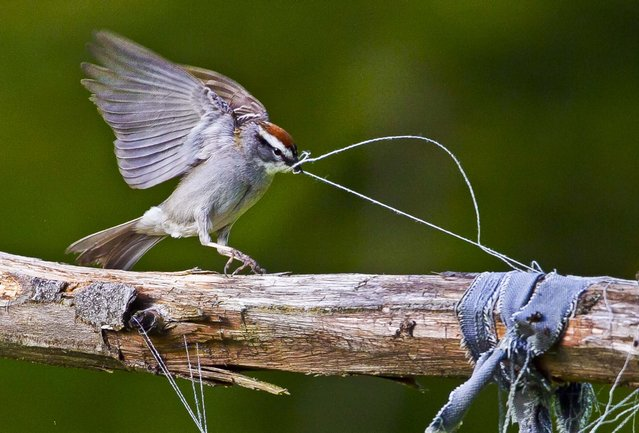 A chipping sparrow tugs on some loose threads of weathered clothing while gathering nest-building materials in a garden in Freeport, Maine, on May 30, 2013. (Photo by Robert F. Bukaty/Associated Press)