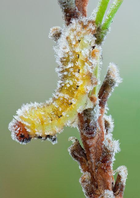 Frostbite. Unknown larva (leaning towards sawfly) on a frosty pine twig. (John Hallmén)