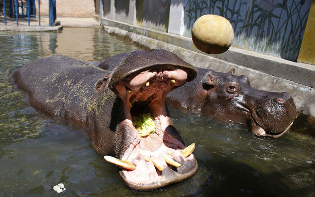 A hippopotamus catches a lettuce with its mouth in Belgrade's zoo July 29, 2013. Temperatures in Serbia have risen up to 40 degrees Celsius (104 degrees Fahrenheit), according to official meteorological data. (Photo by Marko Djurica/Reuters)