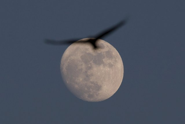 A Black Kite flies past the moon over a field near the southern city of Beer Sheva December 23, 2015. (Photo by Amir Cohen/Reuters)