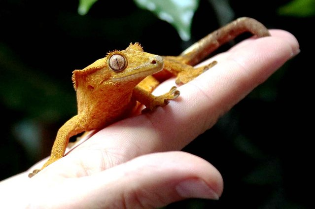 Karim Daoues, manager of The Tropical Farm, shows off a crested gecko on September 6, 2013 in Paris. (Photo by Jacques Demarthon/AFP Photo)