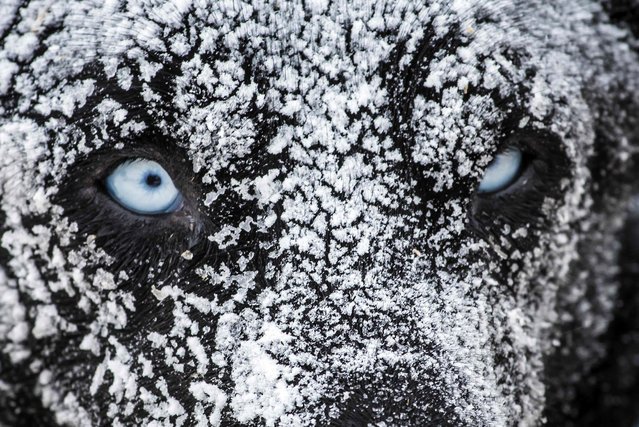 "A sledding dog is covered in ice after spending the night in the open air with his musher at the polar base of Val-Cenis, as they ready for the next stage of the 12th edition of ""La Grande Odyssee"" sledding race across the Alps on January 17, 2016 in Val Cenis Lanslevillard. (Photo by Jean-Philippe Ksiazek/AFP Photo)"