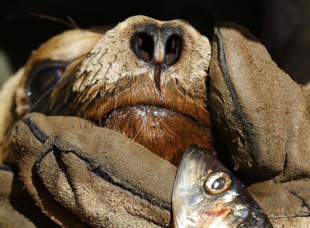 A rescued malnourished sea lion is manually fed a fish at Sea World in San Diego, California March 17, 2015. (Photo by Mike Blake/Reuters)