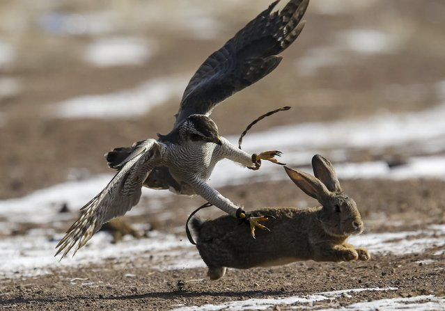 A tamed hawk attacks a rabbit during the traditional hunting contest outside the village of Nura, east from Almaty, Kazakhstan, February 13, 2016. (Photo by Shamil Zhumatov/Reuters)