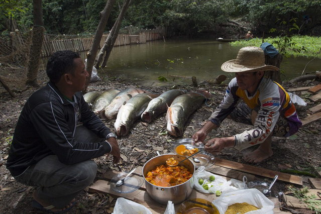 Villagers Diomesio Coelho Antunes (R) and Edson de Souza from the Rumao Island community eat a meal of arapaima or pirarucu, the largest freshwater fish species in South America and one of the largest in the world, next to the ones they just fished from a branch of the Solimoes river, one of the main tributaries of the Amazon, in the Mamiraua nature reserve near Fonte Boa about 600 km (373 miles) west of Manaus, November 24, 2013. (Photo by Bruno Kelly/Reuters)