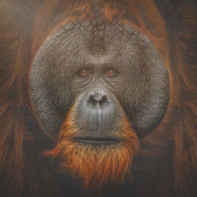 Bornean Orangutan, Tuan. (Photo by Manuela Kulpa/Caters News)