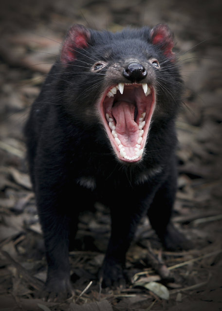 A Tasmanian Devil bears it's teeth at a quarantine facility August 31, 2005 in Hobart, Australia. The Devil, a native marsupial unique to Tasmania, is under threat from Devil Facial Tumor Disease (DFTD) which is decimating numbers throughout Tasmania. (Photo by Ian Waldie/Getty Images)