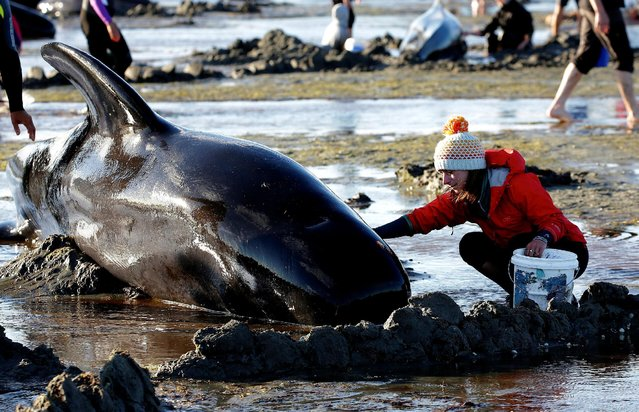 Volunteers attend to some of the hundreds of stranded pilot whales still alive after one of the country's largest recorded mass whale strandings, in Golden Bay, at the top of New Zealand's South Island, February 10, 2017. (Photo by Anthony Phelps/Reuters)