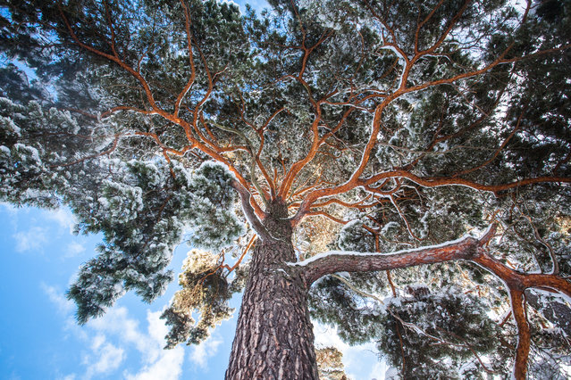 Snow covered pine tree reaches for the sky. Shot in Sweden on a crisp winter day. (Photo by Anna Rebecka Lindberg/The Guardian)
