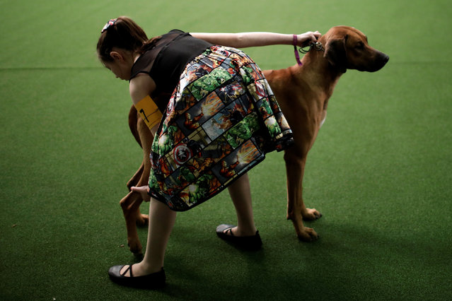 A young handler poses her Rhodesian Ridgeback during competition at the 141st Westminster Kennel Club Dog Show in New York City, U.S. February 13, 2017. (Photo by Mike Segar/Reuters)