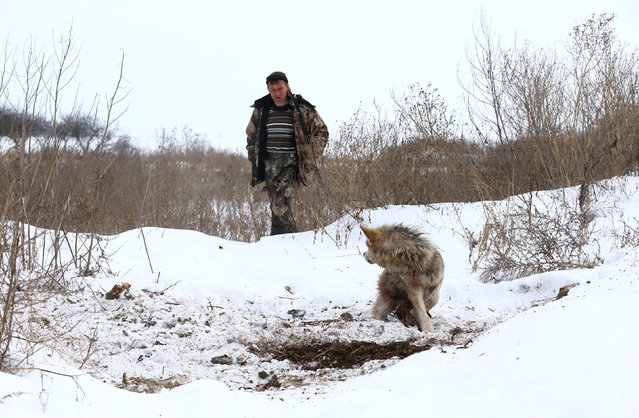 Vladimir Krivenchik, a hunter, looks at a wolf which is caught in a trap near the village of Khrapkovo, Belarus February 1, 2017. (Photo by Vasily Fedosenko/Reuters)