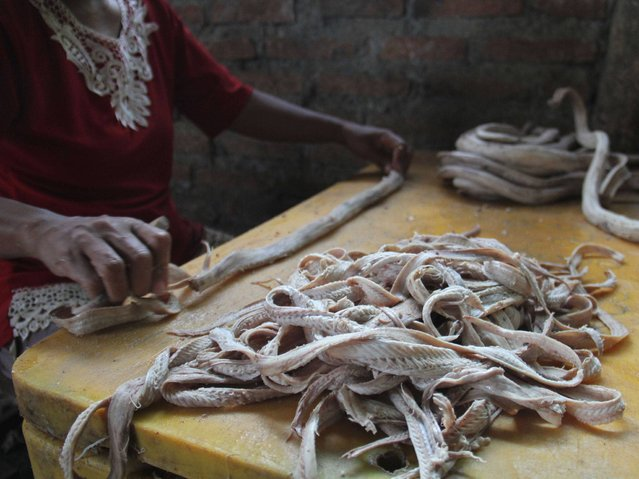 A worker cleans the captured snake skins in the village of Kertasura, Cirebon. (Photo by Nurcholis Anhari Lubis/Getty Images)