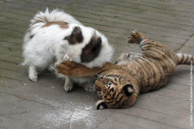 Siberian tiger cub plays with a dog