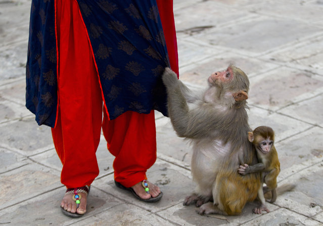 In this July 8, 2019, photo, a monkey pulls on the clothes of Saraswati Dangol as she arrives to feed monkeys in the forest near Pashupatinath temple in Kathmandu, Nepal. For the past four years, Dangol has been bringing the bread every day to feed the monkeys. As soon as they see her with her white sack, they gather around her, some patiently waiting for their turn while others less patiently snatching the bread from her hands. Many of Dangol's regulars are elderly, or are mother or baby monkeys who are unable to fight for their share of food in the wild. (Photo by Niranjan Shrestha/AP Photo)