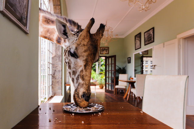 """Don't Leave Any Food On Your Plate"". The giraffes at Nairobi's Giraffe Manor are totally at home with humans. They will eat out of your hand, or even off your plate. Photo location: Giraffe Manor, Nairobi, Kenya. (Photo and caption by Gavin Werbeloff/National Geographic Photo Contest)"
