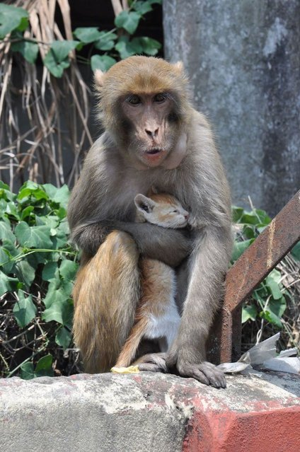 A monkey holds a kitten in Tezpur in Assam, India. (Photo by Barcroft Media)