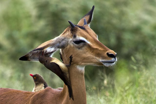 An Oxpecker picks the ear of an Impala in Kruger National Park, South Africa, Tuesday March 5, 2019. Oxpeckers feed on insects and ticks on giraffes, Impalas and other wild animals. (Photo by Jerome Delay/AP Photo)