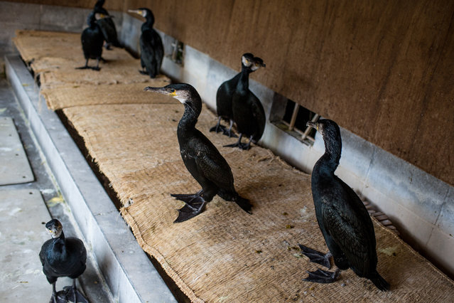 """Sea cormorants are seen in an enclosure used by Cormorant master, Mr. Masahiko Sugiyama on July 2, 2014 in Gifu, Japan. In this traditional fishing art """"ukai"""", a cormorant master called """"usho"""" manages cormorants to capture ayu or sweetfish. The ushos of River Nagara have been the official staff of the Imperial Household Agency of Japan since 1890. Currently six imperial fishermen of Nagara River conduct special fishing to contribute to the Imperial family eight times a year, on top of daily fishing from mid-May to mid-October. (Photo by Chris McGrath/Getty Images)"""