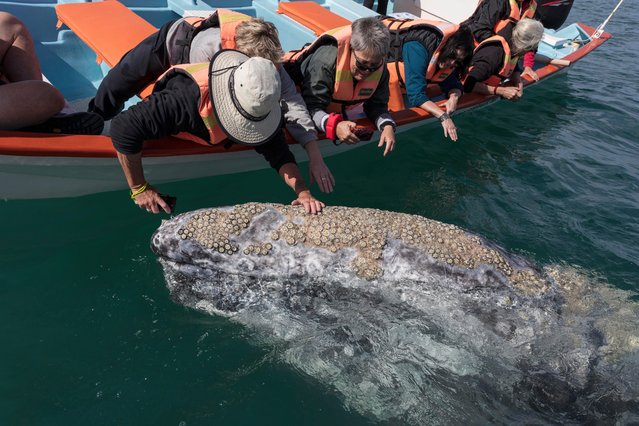 A grey whale comes towards a boat as tourists put their hands out in, Baja California, Mexico, March 2017. A pair of newly born grey whale calves intrigued by visiting tourists eagerly swim over to the group to get a closer look. Urged on by their mother, the small calves confidently went up to the tour group who were visiting San Ignacio Lagoon in Baja California, Mexico. This adorable moment was captured by zoologist and wildlife photographer, Mark Carwardine on his visit to the area in March 2017. (Photo by  Mark Carwardine/Barcroft Images)