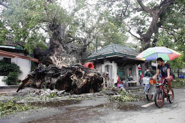 An ice cream vendor cycles past a huge fallen tree after an onslaught of Typhoon Rammasun, (locally named Glenda) in Batangas city south of Manila, July 17, 2014. The Philippines set to work clearing debris, reconnecting power and rebuilding flattened houses on Thursday after a typhoon swept across the country killing 38 people, with at least eight missing, rescue officials said. (Photo by Erik De Castro/Reuters)