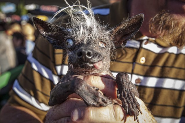 Ugly dog contestants Sweepee Rambo and owner Jason Wurtz celebrate in winning the 2016 World's Ugliest Dog Contest at the Sonoma-Marin Fair in Petaluma, California, USA, 24 June 2016. (Photo by Peter Dasilva/EPA)