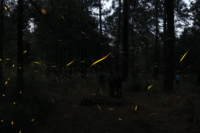 Thousands of fireflies come out to mate in the forests of Ejido Miguel Lira y Ortega, in Nanacamilpa in Tlaxcala, Mexico, 12 July 2016. Every year during the months of July, August and September, is the mating season for regional species of fireflies in forests of Tlaxcala. Organizations in defense of animal protection, have stated that excessive tourism in the Sanctuary of the Fireflies, affects the habitat of the species, which has led to a decline in the fireflies' population. (Photo by Hugo Ortuno/EPA)
