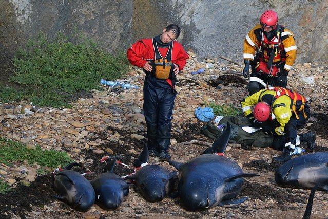 Mass Stranding of Pilot Whales