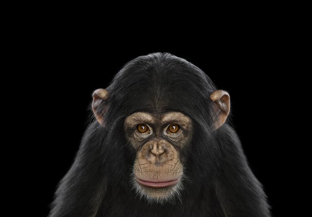 Chimpanzee. (Photo by Brad Wilson)