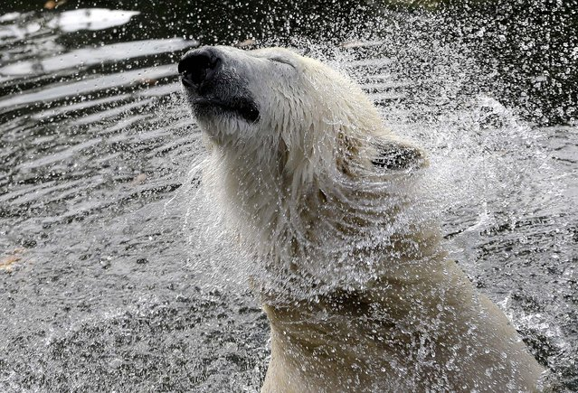 A polar bear shakes its head in its enclosure at the Zoo in Berlin, Germany October 24, 2012. A monument to the polar bear Knut was unveiled at the zoo on Wednesday morning. Knut became a global celebrity before his sudden death last year. (Photo by Michael Sohn/Associated Press)