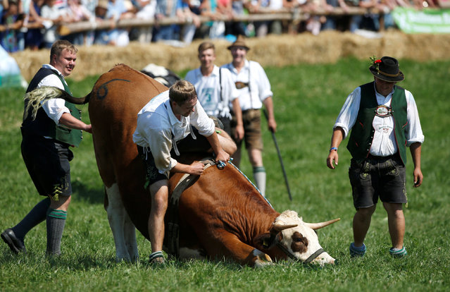 Farmer Franz Schaller rides on an ox caleld Napoleon during a traditional ox race in the southern Bavarian village of Muensing near Lake Starnberg, Germany August 28, 2016. (Photo by Michaela Rehle/Reuters)