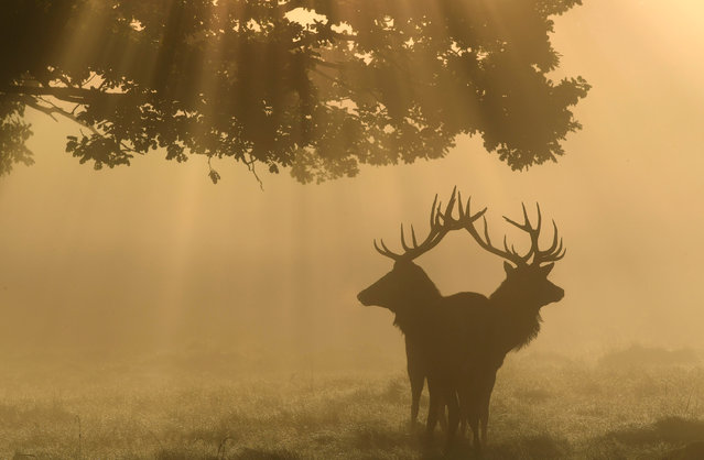 Two stag deer are seen through the mist at dawn during the annual rutting season in Richmond Park in London, Britain September 22, 2017. (Photo by Toby Melville/Reuters)