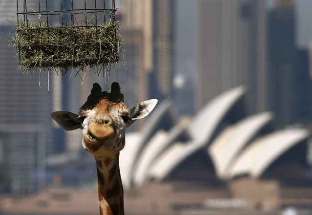 A giraffe eats in front of the Sydney Opera House during feeding time at Taronga Zoo October 31, 2014. (Photo by David Gray/Reuters)