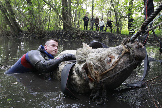 People watch as a diver with the French fire brigade rescues a cow that was trapped in a river after it slipped from its banks in Salome, northern France, October 10, 2011. (Photo by Pascal Rossignol/Reuters)